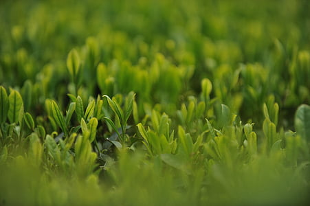 jardín de té, té, té verde, naturaleza, crecimiento, planta, color verde