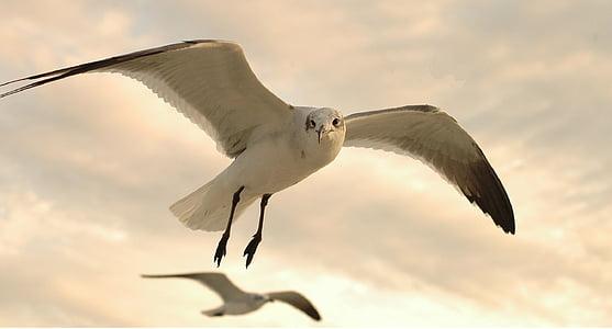 lokkien, Flying, Wildlife, Luonto, Linnut, merilintujen, siivet