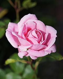 Rosa, flor, flor, flor rosa, Rosa, fragància, bellesa