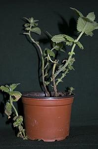 Mint, herbal, pot bunga, tanaman, tanaman, daun, pertumbuhan