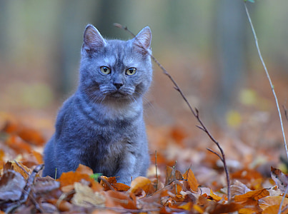 breed cat, cat, forest, nature, sweet