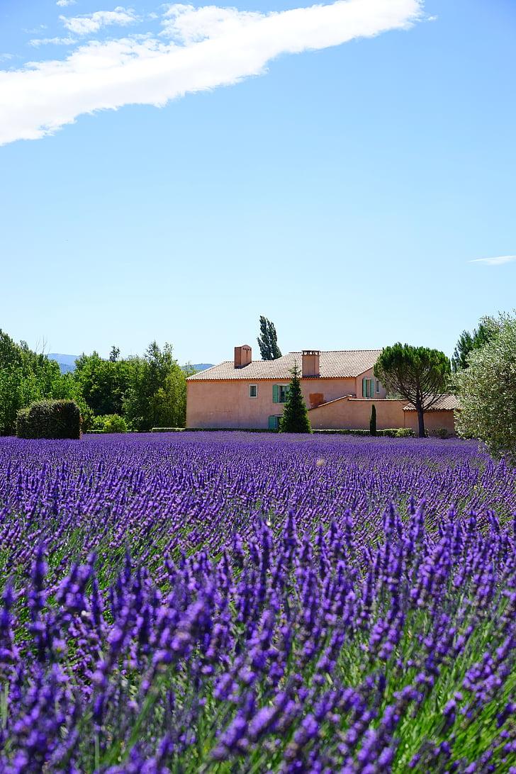 Levanda, turto, apgyvendinimo, levandų laukas, levandų gėlės, mėlyna, gėlės