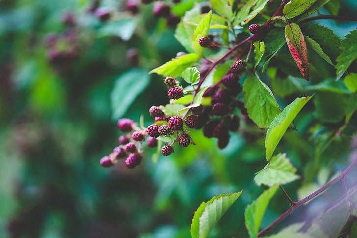 frais, mûres, Bush, nature, vert, fruits, noir