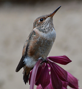 hummingbird, bird, flower, nature, wildlife, color, animal