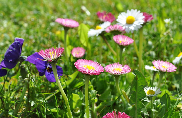daisy, pink daisy, spring, blossom, bloom, nature, meadow