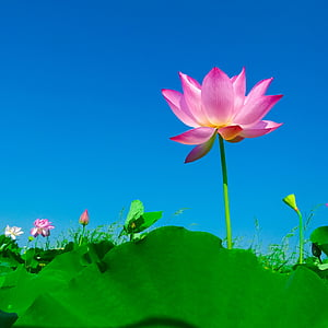 lotus, lotus leaf, flowering, flower, nature, water Lily, lotus Water Lily
