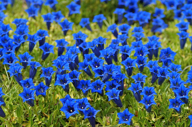 https://i0.hippopx.com/photos/232/94/422/gentian-alpine-mountain-flower-bell-preview.jpg