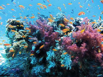 sota l'aigua, Mar, peix, Coral, natura, escull, animal