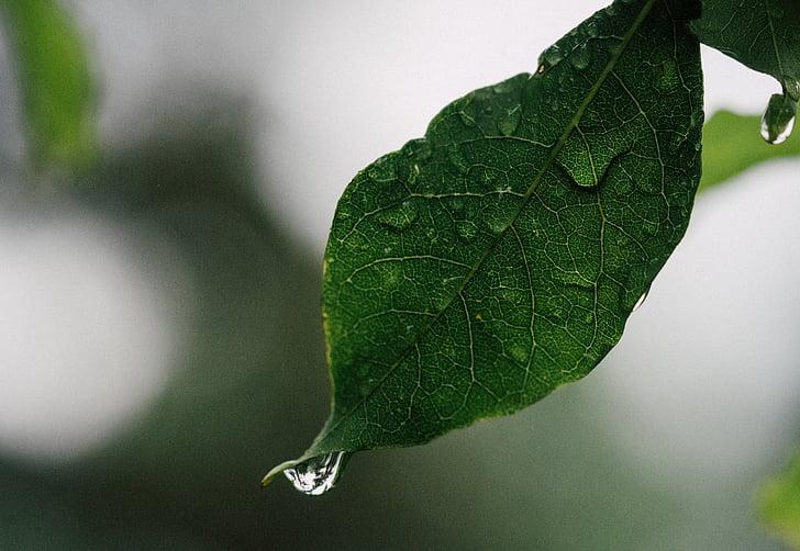 dråbe vand, blad, vanddråbe
