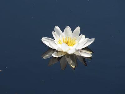 flor d'aigua, flor, natura, verd, lliri, nenúfar, Estany