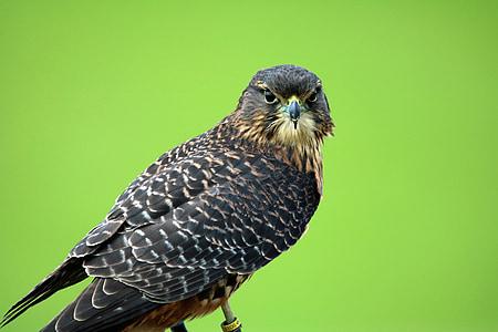 new zealand falcon, bird of prey, hawk, bird, beak, falcon, falconry
