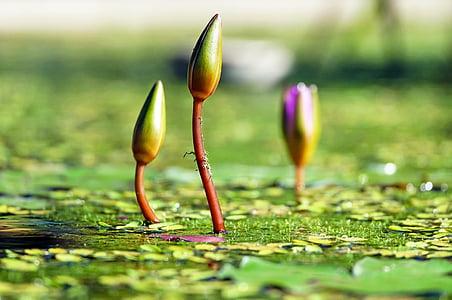 Lekná, bud, rybník, Zelená, vody, botanika, Príroda
