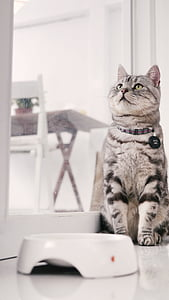 cat mia, introduction to american shorthair cat, sitting position, pet