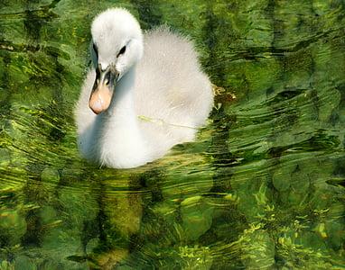 swan, baby, green, bird, wildlife, water, nature