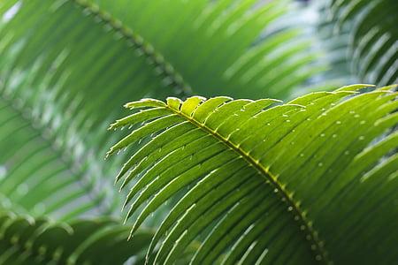 fronda, verd, fulles, macro, natura, Palma, planta