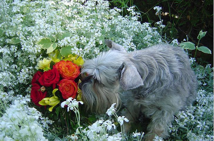 Schnauzer olorar les flors, gos en el jardí, flors d'olor de gos