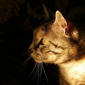 pisica, portret de pisica, pisica tigru, închide, pisica fata, pisici domestice, animal de casă