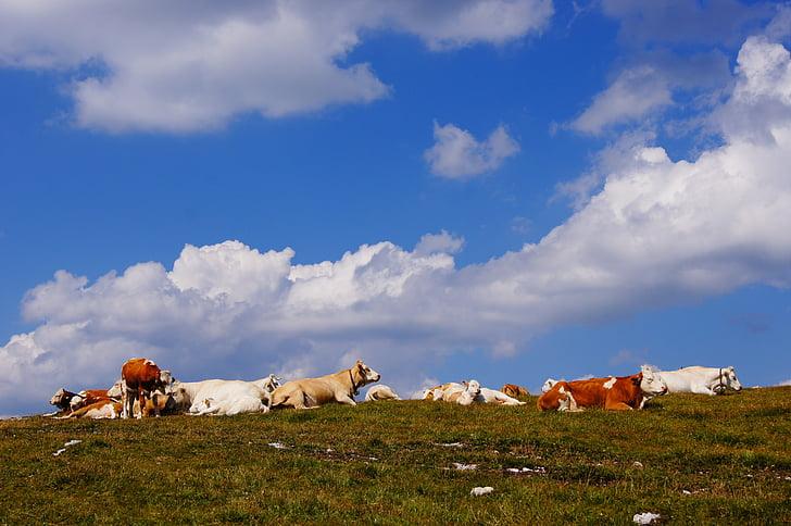 Alm, vaques, les pastures, cel
