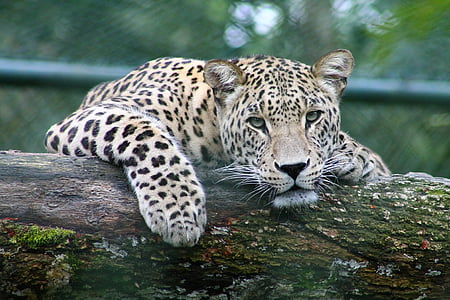 mammal, predator, leopard, animal, cat, zoo, vertebrate