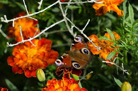 пеперуда, Ориндж, цвете, насекоми, природата, цветни, Градина