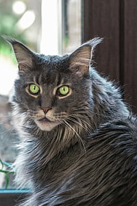 cat, tomcat, looking cat, maine coon, golden eyes, male, eyes