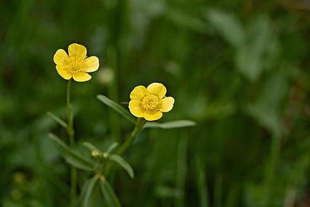 Ljuti, rastlin, plevela, travnik, narave, cvet, cvet