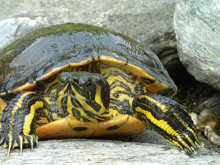 костенурка, szarupajzs, нокът, влечуги, животните, костенурка, природата