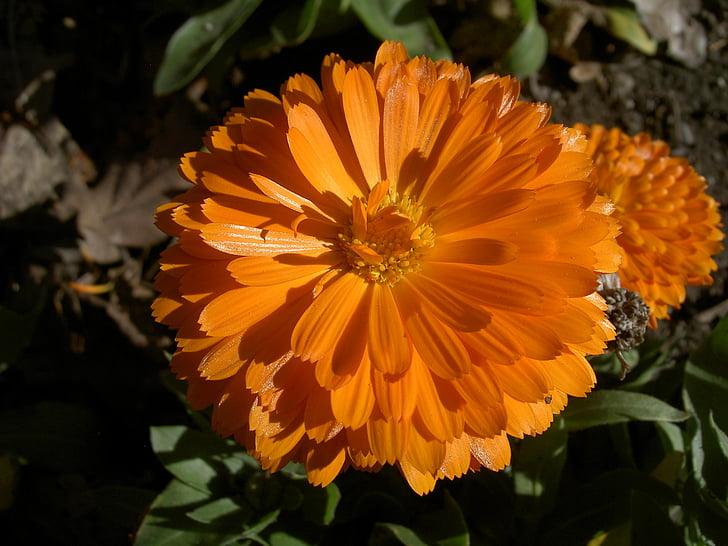 zinnia, flower, orange, pretty, floral, blossoming, california