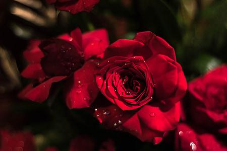 Rosa, rosa vermella, flor