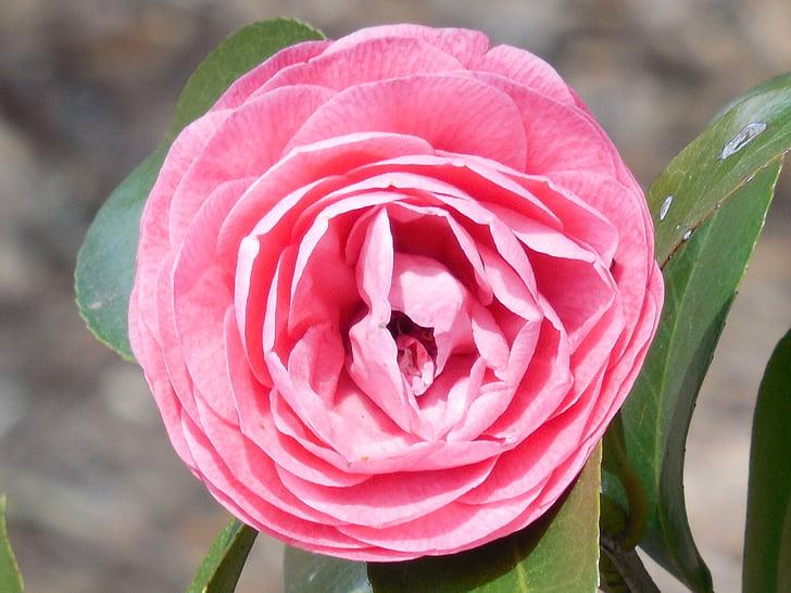 Camellia, kvet, kvet, Záhrada, Petal, rastlín, jar