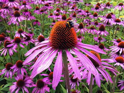 Echinacea, bunga, Coneflower, alam, herbal, botani, obat