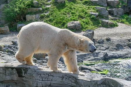 polar bear, zoo, white bear, predator, fur, bear, animal