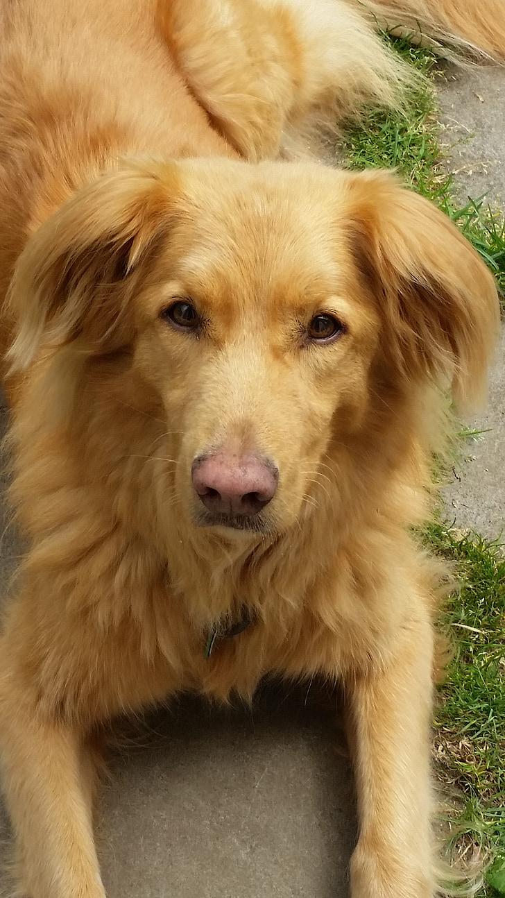 куче, червен, джинджифил, Toller, Нова Скотия Дък таксуване Ловджийско куче, домашен любимец, животните