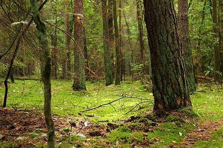 skog, magiske skogen, Moss, eventyr skog, natur, Druid grove, grønn
