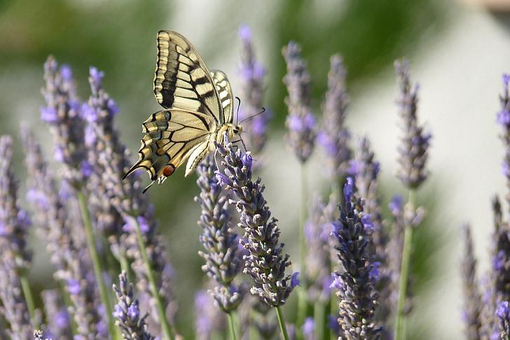 motýľ, levanduľa, kvety, Príroda, Violet, hmyz, krídlo