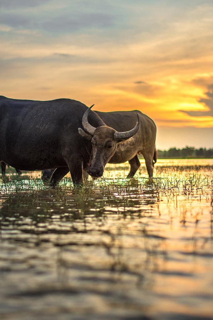 Buffalo, utsiden av huset, Thailand, landskapet, folk, Laos, i landet