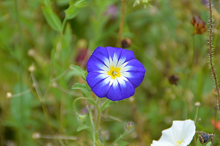 Wyka, niebieski, kwiat, ogród, kwiat, Bloom, Kwiat ogród