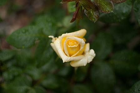 kollane roos, tõusis, lill, roos valge, Aed, kevadel, roosi kroonlehed