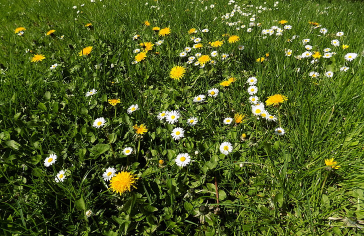 flower, garden, grass, spring, green, daisy, nature