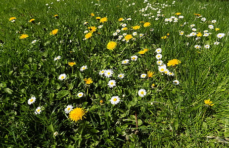 flower, garden, grass, spring, green, daisy, nature