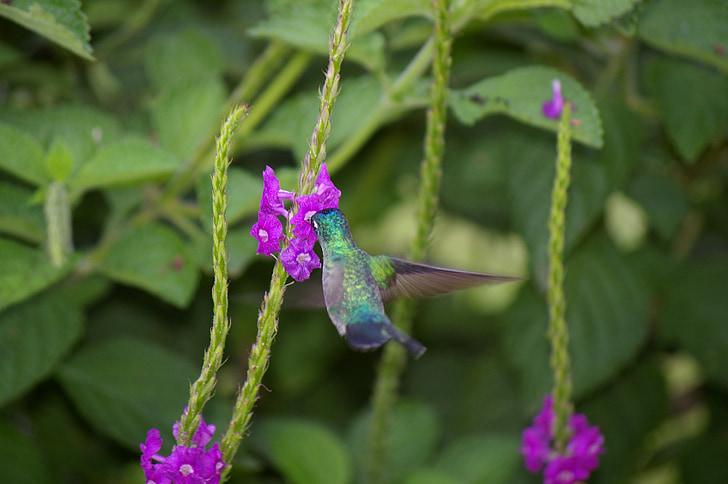 hummingbird, bird, flower, flight