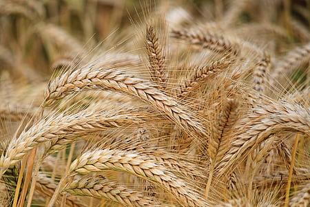spike, barley, cereals, barley field, nature, field, nutrition
