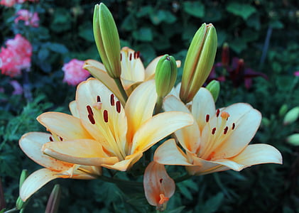 flowers, lily, macro photography, beautiful flower
