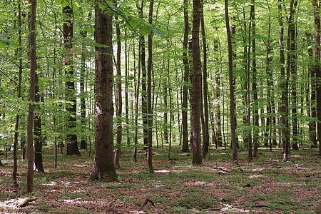 δάσος, δάσος φυλλοβόλων, φύση, δέντρο, οξιά