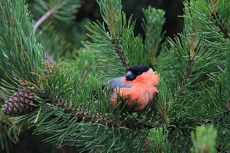 bullfinch, bird, birds, branches