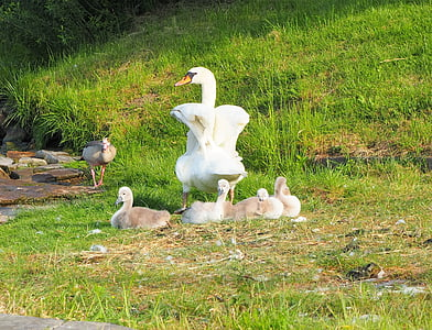 swan, chicks, family, swans, bird, young animals, cute