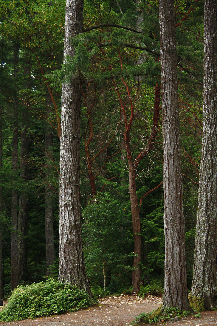 northwest forest, douglas fir, washington, pacific, forest, woods, nature