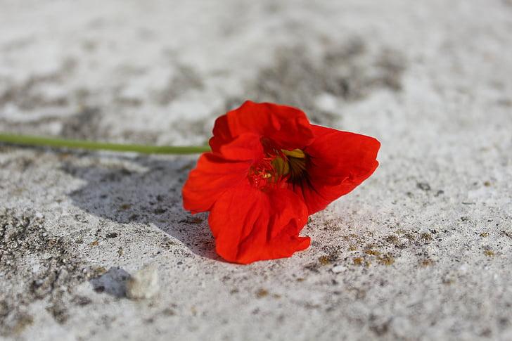 rood, bloem, rode bloem, macro, Tuin, bloemen, zomerbloemen
