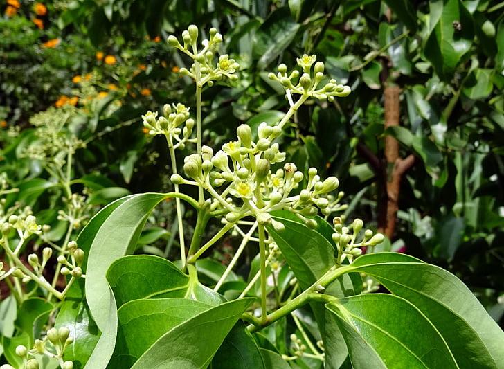 Indijas bay leaf, Kanēlis, Cinnamon tamala, Cinnamon verum, koks, garšvielas, atstāj