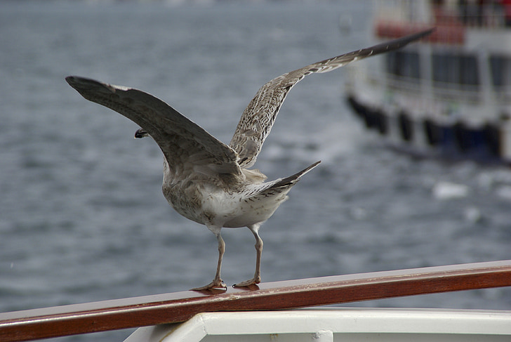 Gavina, ocell, gavines, l'aigua, Inici, enlairar-se